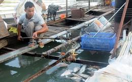 Hàng trăm kg cá chết mỗi ngày, người nuôi cá bè thiệt hại nặng