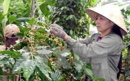 Niên vụ thứ ba mất mùa, sản lượng cà phê có khả năng giảm 20%