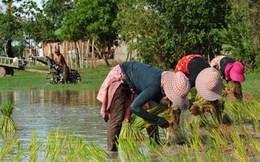 Bán gạo giỏi như người Campuchia