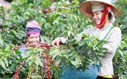 Diện tích càphê, hồ tiêu tại Đắk Lắk vượt xa so quy hoạch