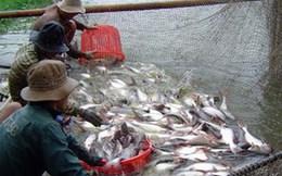 Giá cá tra tăng, người nuôi lãi khoảng 2.000 đồng/kg