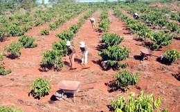 Gia Lai: Người trồng cà phê loay hoay cứu hạn