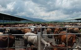 """Khám phá trang trại nuôi bò - """"nồi cơm"""" chính của HAGL"""
