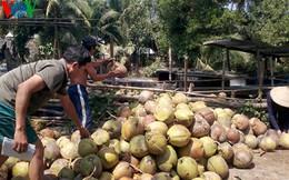 Dừa Bến Tre giảm phụ thuộc vào thị trường Trung Quốc