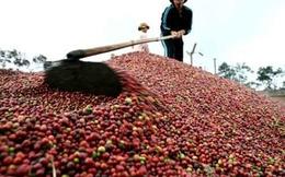 Vì sao sản lượng cà phê niên vụ 2014 - 2015 giảm mạnh?
