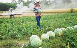 Bắc Giang: Người dân khóc ròng trên cánh đồng dưa hấu
