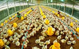 Hong Kong dừng nhập khẩu gia cầm từ Việt Nam