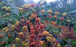 """Người trồng cà phê bất ngờ nhận """"lộc trời"""" ngày đầu năm"""