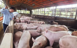 Giá lợn hơi giảm từng ngày