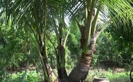 Phát triển ngành dừa thành ngành mũi nhọn