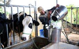 Đề nghị công ty sữa chia sẻ khó khăn với người nuôi bò