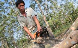 Lại chặt trên 700ha cao su để trồng điều và cây khác