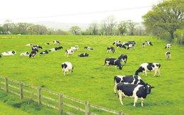 """Vì sao GTN """"để mắt"""" tới Tổng Công ty Chăn nuôi?"""
