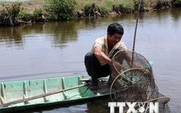 Tập trung giải quyết khó khăn trong sản xuất tôm nước lợ