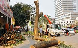 Công bố kết quả thanh tra vụ chặt cây xanh Hà Nội
