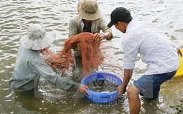 Nông dân Trà Vinh phấn khởi vì trúng vụ nuôi tôm càng xanh