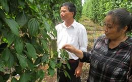 Trồng hồ tiêu ghép khiến nhiều nông dân thất thu