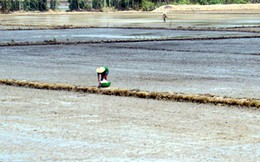 Người trồng lúa ĐBSCL gặp khó khi tái sản xuất sau hạn mặn