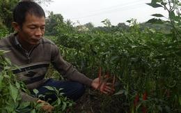 Người trồng ớt 'cầm dao đằng lưỡi'