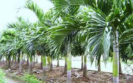 Trà Vinh khuyến cáo nông dân không phá vườn cây ăn trái để trồng cau