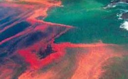 """Tảo độc thủy triều đỏ """"nở hoa"""" gây chết cá như thế nào?"""