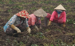 Khoai lang tím Bình Tân trúng chợ