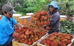 """Nông dân Đồng Nai """"ồ ạt"""" trồng chôm chôm Thái"""