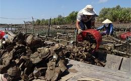 Ngàn tấn hàu chết, vựa thuỷ sản nguy kịch trong mặn