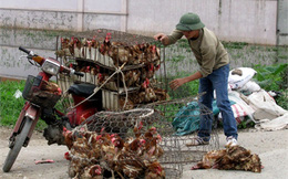 Nhập gà TQ: Nguy cơ dân ăn thịt 'rác', người nuôi mất nghiệp