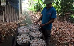 Tiết lộ mánh lừa trứng gà Ai Cập thành trứng gà ta xịn