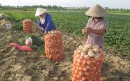 Hiệu quả từ những vùng rau màu chuyên canh