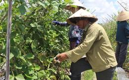 Vì sao nông dân Củ Chi bỏ VietGAP?