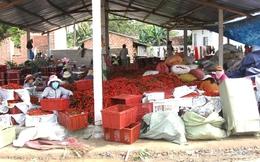 Trồng ớt xuất khẩu đang thắng to