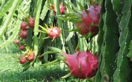 Người dân cần thận trọng việc thương lái Trung Quốc thao túng thị trường trái cây