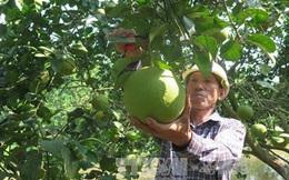 Đặc sản bưởi đào Thanh Hồng cho giá trị kinh tế cao