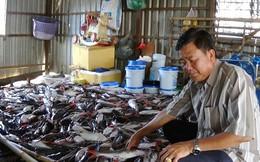 Hàng trăm bè cá chết bất thường trên sông Hậu