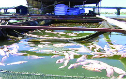 Cá lồng bè tiếp tục chết trên sông La Ngà