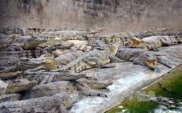 Hơn 5.000 con cá sấu không có đầu ra