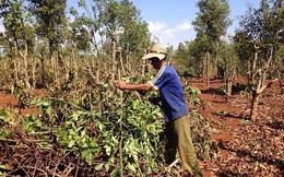Người dân ồ ạt chặt bỏ cây cà phê, Tây Nguyên có nguy cơ mất cân đối cây trồng
