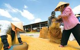 Giá lúa ở đồng bằng sông Cửu Long sụt giảm