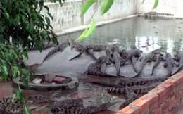 Thương lái thao túng giá cá sấu - người nuôi lỗ nặng