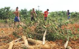 Người dân vùng cao A Lưới chặt bỏ cây cà phê