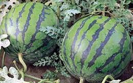 Giá dưa hấu giảm còn 3.000 đồng/kg