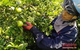 Ồ ạt mở rộng diện tích, người dân trồng chanh chịu cảnh rớt giá