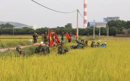 Ứng phó bão số 7: Khẩn trương thu hoạch lúa