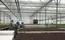Xung quanh 'hiện tượng' xuất khẩu rau quả Việt