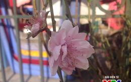 Làng đào Nhật Tân lo lắng vì hoa nở sớm
