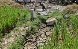 El Nino có thể làm giảm tới 70% năng suất lúa