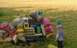 Giá lúa vẫn đà giảm