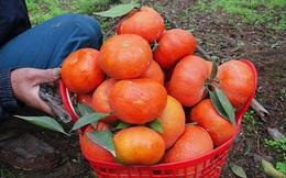 Giáp Tết, làng lá dong truyền thống Tràng Cát nhộn nhịp thu hoạch… cam